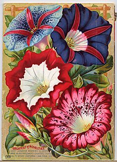 """Morning Glories! Vintage seed catalog """"Rare Flowers, Vegetables and Fruits"""" (1896) for John Lewis Childs. via the Smithsonian Institute"""