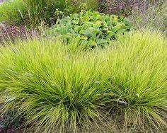 Sesleria autumnalis - pěchava podzimní Travina vhodná na větší plochy v travnatých stepních partiích, v kombinaci s podzimními krokusy, trvalkami a trávami. Dorůstá do výšky 45cm. Listy jsou žlutozelené. Kvete stříbřitě od srpna do října.