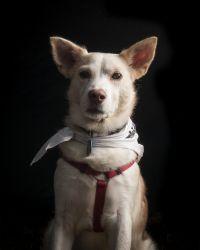 Adopt Wasabi On Husky Dogs Siberian Husky Dog