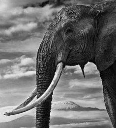7a4580766d7 david yarrow photography - Google zoeken  blackandwhitewildlifephotography  Wild Animals Photography