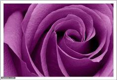 الوردة البنفسجيــة