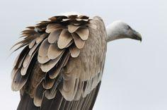Vulture #Griffon #vulture  #Gänsegeier #  #Austria #birdwatching #vogelbeobachtung Bird House Kits, Easy Coffee, Kit Homes, Bird Watching, Bird Houses, Vulture, Austria, Animals, Birdwatching