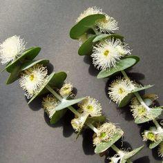 EUCALYPTUS pulverulenta Baby Blue - they look like little kebabs. Flora Flowers, Unusual Flowers, Rare Flowers, Amazing Flowers, Beautiful Flowers, Australian Wildflowers, Australian Native Flowers, Australian Plants, Bush Garden