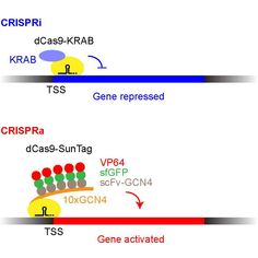 A CRISPR-based method to alter the expression of any mammalian gene and assay the functional consequences has arrived.