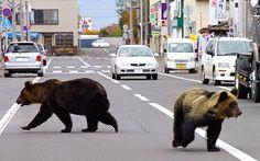 Bears invade city streets!