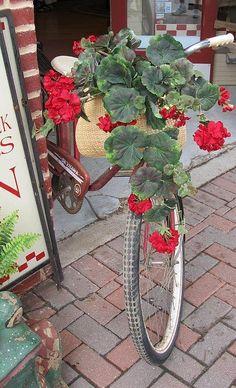 Red geraniums, my favorite
