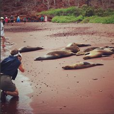 Sea lions in the Galápagos Islands by Laura Hare Ecuador, Sea Lions, Galapagos Islands, Hare, Travel, Animals, America, Viajes, Animales