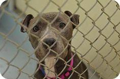 Philadelphia, PA - Pit Bull Terrier Mix. Meet Cinderella, a dog for adoption. http://www.adoptapet.com/pet/17321715-philadelphia-pennsylvania-pit-bull-terrier-mix