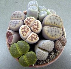 living stones.  I find these plants so fascinating!