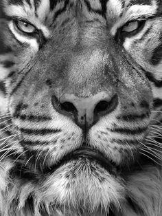 pinterest.com/fra411 #graowr #tiger