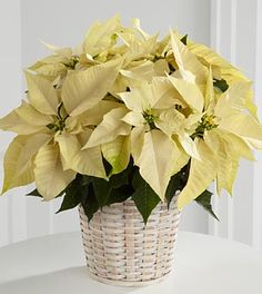 FTD White Poinsettia Basket  Price: 39.90    The elegant winter white poinsettia is a lovely variation to a classic holiday gift. Poinsettia is decorated with holiday greens, and arrives in a 6 diameter container.