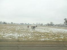 PT JAN 2015 NAMPA IDAHO. HORSES IN THE FIELD IN THE WINTER. STEADLY EATING.