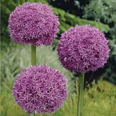 Allium giganteum sow seeds Jan to March to plant in May