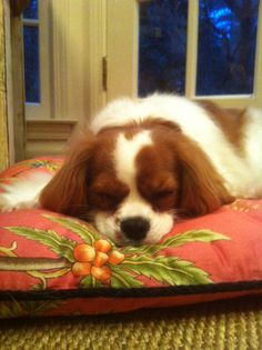 A Cavalier doing what Cavaliers do best