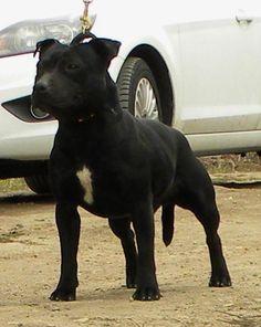 black staffordshire bull terrier | staffordshire-bull-terrier-pretty