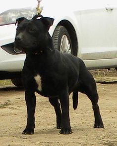 black staffordshire bull terrier | staffordshire-bull-terrier-pretty
