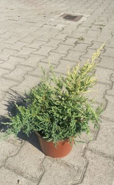 juniperus-giallo-dorato-3214