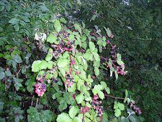 Aspecte general de l'esbarzer (Rubus ulmifolius)