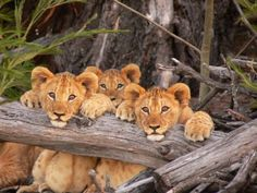 Lalibela Game Reserve and Safari Lodge, Addo Elephant Park, Eastern Cape, South… Lioness And Cubs, Safari, Bay Lodge, Elephant Park, Lion Cub, Game Reserve, Nature Animals, Wildlife Photography, Big Cats