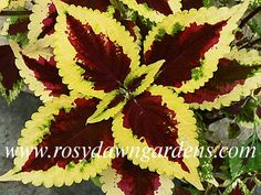 Coleus 'Beckwith's Gem' Medium-Large Upright Deep Purple Leaf With Magenta Highlights With A Bright Yellow Edge. Lively And Beautiful Heirloom Coleus With Eye-Catching Color Contrast. Never Fails To Draw Oohs And Ahhs Sun Tolerant. Hosta Plants, Foliage Plants, Shade Plants, Garden Plants, Houseplants, Container Plants, Container Gardening, Beautiful Gardens, Beautiful Flowers