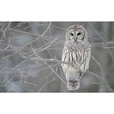 Grey owl in a tree - Free desktop wallpapers download ❤ liked on Polyvore featuring animals, owl, backgrounds, birds and winter