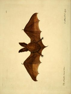 Bat (once thought to be a bird apparently), A Natural History of Birds: Illustrated with a Hundred and One Copper Plates, Eleazar Albin and William Derham, 1731-1738.