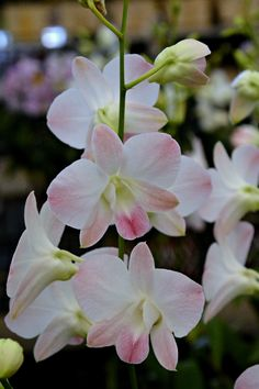 Thailand orchids (Wil 5821)