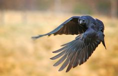 I am not a great fan of Ravens but this one looked pretty. I hope you like him.