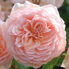 rosier generosa william christie   mar, flores e um lugar para
