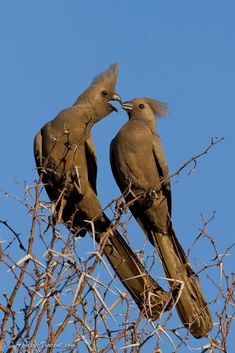 Grey Go-Away-Bird (Grey Lourie), Kruger National Park, Limpopo, South Africa