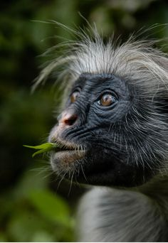 Red colobus monkey. Endemic in Zanzibar. About to extinct. Jozani Forest.