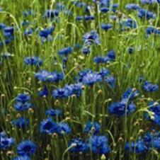Organic Bachelor Buttons Flower Seeds: full to partial sun, 2-3 ft.