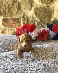 Teacup Maltipoo, Maltipoo Puppies For Sale, Lancaster Puppies, Pet 1, Dogs, Animals, Animales, Animaux, Pet Dogs