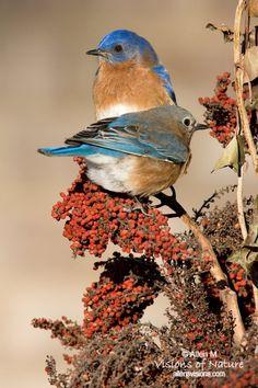 Eastern Bluebirds - love the teal in the wing. Allen's Vision of Nature Pretty Birds, Love Birds, Beautiful Birds, Animals Beautiful, Animals And Pets, Cute Animals, Mundo Animal, Backyard Birds, Watercolor Bird