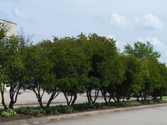 Wax myrtles-evergreen- can be used as a hedge or limbed up. As small trees they will provide privacy above your fence while not eating up a lot of yard space.