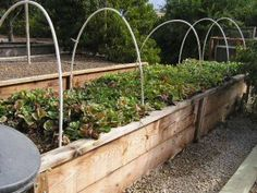 With these PVC hoops, the generous lettuce crop in this raised bed can be 'roofed' with plastic to extend the growing season.