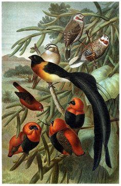 oldbookillustrations:  Weaver birds (Ploceidae).  From Brehms Tierleben (Brehm's animal life) vol. 4, under the direction of Alfred Edmund Brehm, Leipzig  Vienna, 1900.  (Source: archive.org)