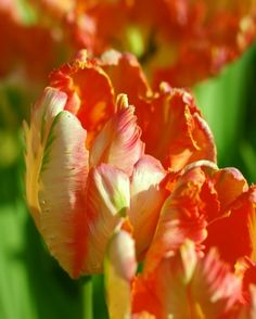 Tulip Professor Rontgen - featherings of orange, apricot, yellow and green, Parrot tulip, late April to mid May