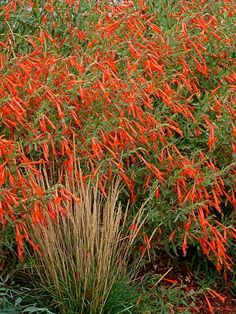 Top New Perennials for 2016 Zauschneria 'Sky Island Orange'