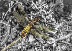 https://flic.kr/p/uVnKQx | A dragonfly in the grounds of Sandringham House