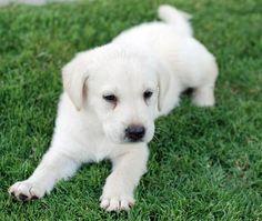 The Daily Puppy Zaga the Labrador Retriever