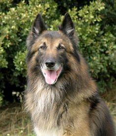 BELGIAN SHEPHEED DOG TERVUREN