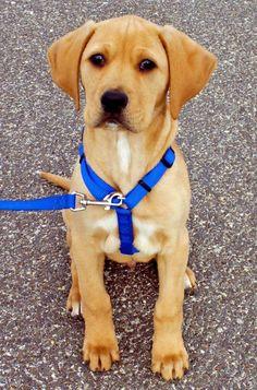 @Lauren Davison Davison Mufford - if Pancho and Kona had a pup! boxer/lab mix <3