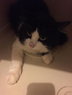 Ft. Myers, FL- Meet Onyx, an adoptable Domestic Short Hair-black and white…