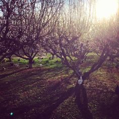 Peach blossoms and chickens are filling #Agritopia in #GilbertAZ! Photo shared by @The Farm at Agritopia on Instagram.