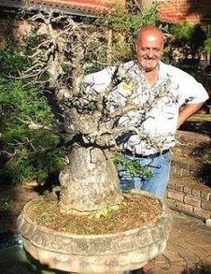 baobab bonsai - Google Search - scales
