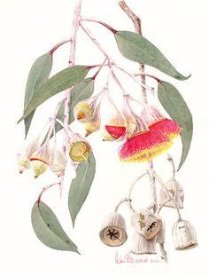 E caesia 419   Helen Fitzgerald - Botanical & Wildlife artist   Helen Fitzgerald