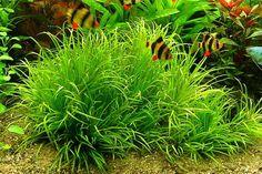 Live Plants For Aquarium. Freshwater Aquarium Plants, Nature Aquarium, Planted Aquarium, Aquarium Fish, Aquascaping Plants, Bog Garden, Green Lettuce, Aquatic Plants, Underwater World