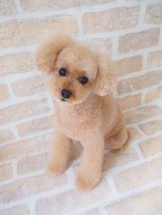 "Exceptional ""French poodle puppies"" info is readily available on our site. Take a look and you wont be sorry you did. Toy Puppies, Cute Puppies, Cute Dogs, Poodle Puppies, Poodle Grooming, Pet Grooming, Small Poodle, French Dogs, Happy Puppy"