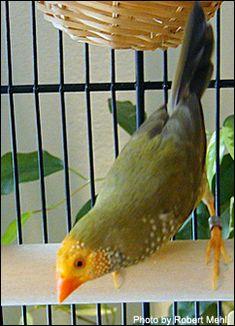 Love Birds, Beautiful Birds, Finch Cage, Wrens, Finches, Bird Drawings, Budgies, Robins, Pet Birds